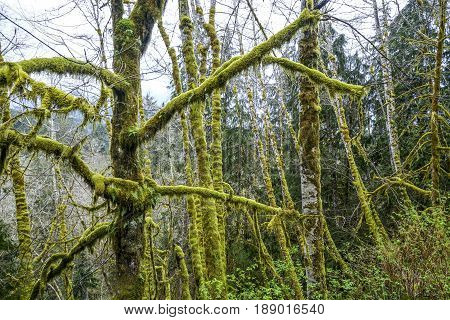 Famous Hoh Rain Forest on the Olympic Peninsula in Washington
