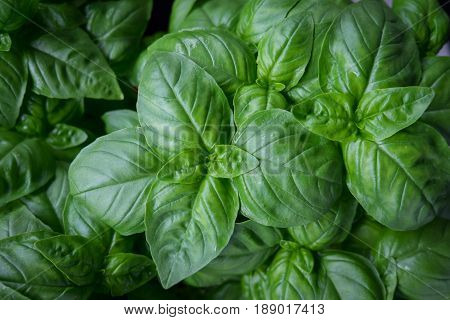 Fresh growing basil herb plant green leaves low key image