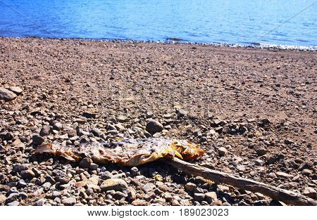 Decomposing dead trout on lakeshore