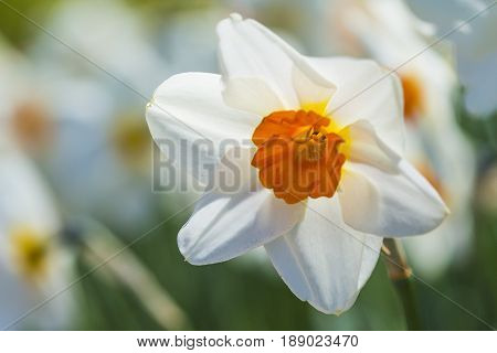 Macro of White Narcissus in Garden Outdors. Horizontal Image