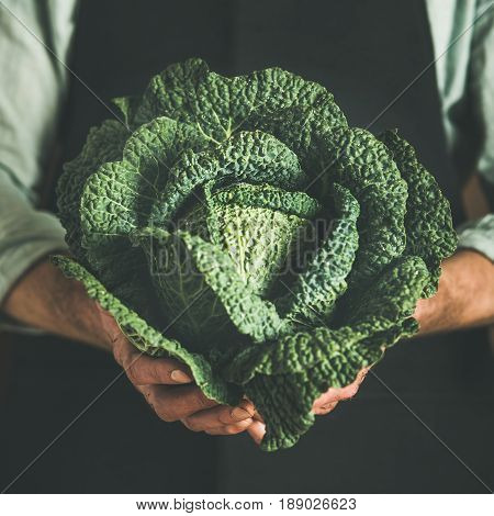 Man wearing black apron holding fresh green cabbagein in his hands at local farmers market, square crop. Gardening, farming and natural food concept