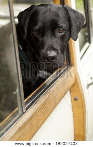 Black Dog Peering Over A Vehicle's Window