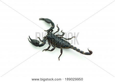 Close up Scorpion isolated on white background