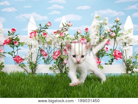 Small thin white kitten walking in grass looking at viewer. White picket fence with pink and red roses with white flowers blue background sky with clouds.