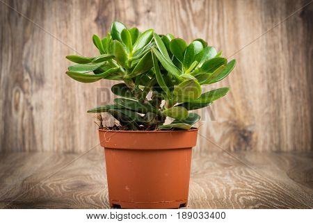 Photo of Crassula plant in the pot