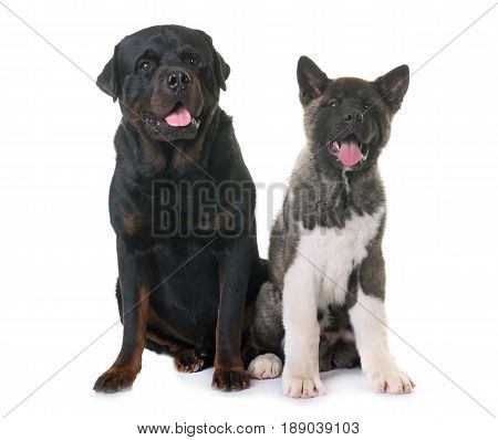 puppy american akita and rottweiler in front of white background