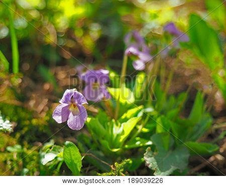 Blooming Viola odorata Sweet Violet, Wood violet, English Violet, Common Violet, or Garden Violet early in spring