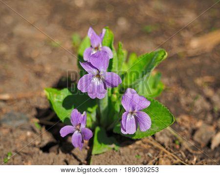 Blooming Viola odorata, Sweet Violet, Wood violet, English Violet, Common Violet, or Garden Violet early in spring on earth