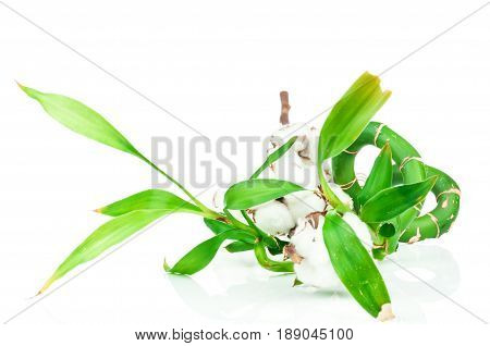 Bamboo and cotton twig plant isolated on white background