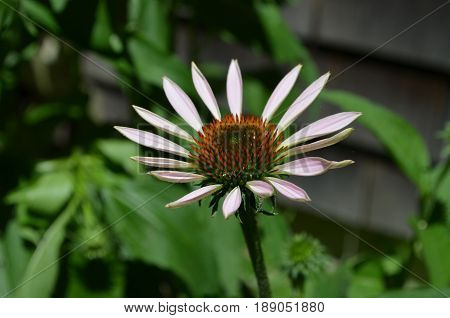 A coneflower just beginning to bloom in spikes.