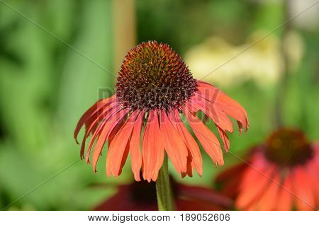 Flowering red echinacea flower in a garden.