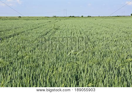 Young wheat in Vojvodina that slowly matures and poured the fruit before harvest.