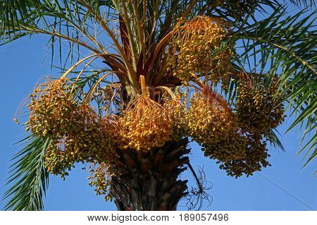 Areca or betel nut palm tree (Areca catechu) with ripe fruits