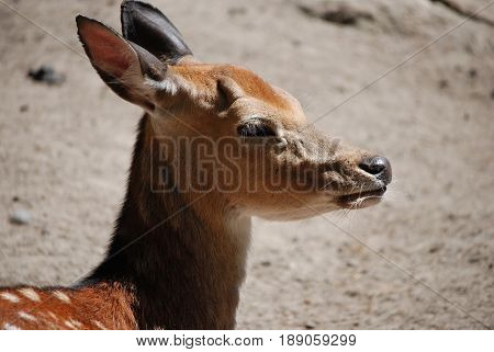 Adorable face of a sweet fawn resting in the sunshine.