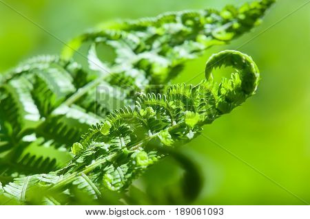 Young fern sprouts close up in garden
