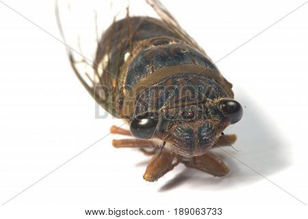 Cicada breed of Asia isolate on white background