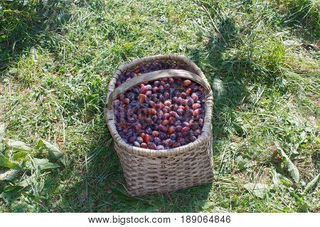 Organic Plums in basket on the summer grass. Plums ripe. Plum in a wicker basket