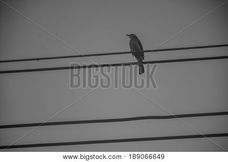 The large birds on wires at home is black background.