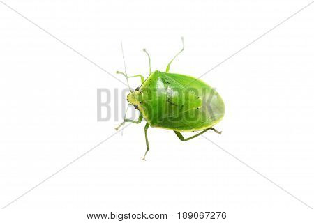 green insect in the white background in thailand