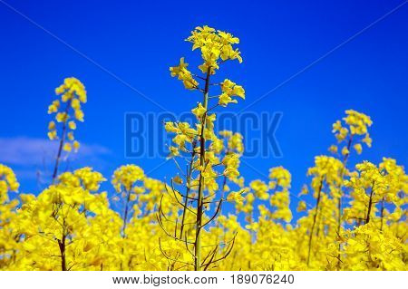 Yellow seeds of oilseed rape seed oil on a blue sky background. Close-up