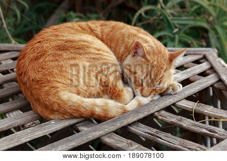 Lying Red Homeless Cat