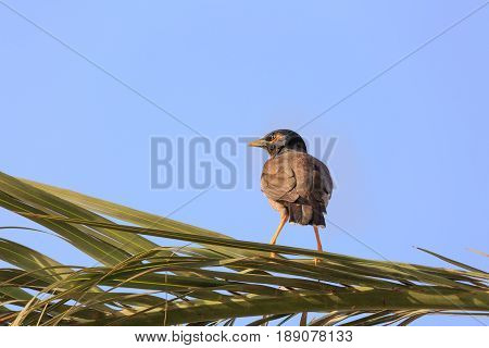 Mynah Is Standing On Palm Tree And Looking To Left Side
