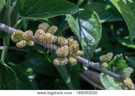 New White Mulberries On A Branch With Green Leaves