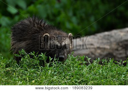 Young wolverine look at camera (glutton carcajou skunk bear Gulo gulo). Subartic wolverine in nature. Dangerous small animal raptor in nature. poster