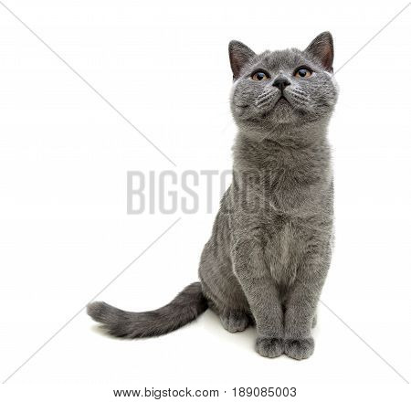 gray cat sitting isolated on white background. Horizontal photo.