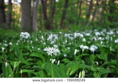 A lot of blooming wild garlic (Allium ursinum) in a forest glade. Close-up selective focus.