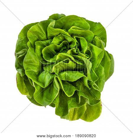 Butterhead salad isolated on the white background