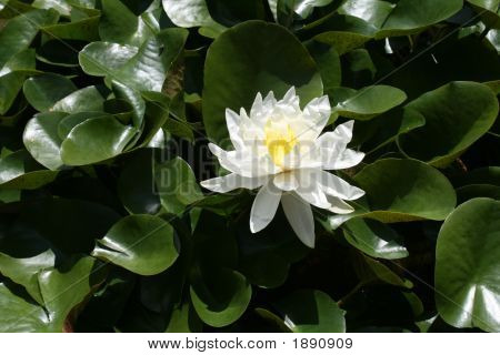 Single Waterlily