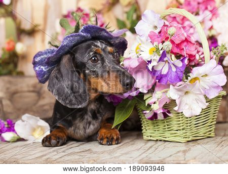 Dachshunds  In a hat and flowers