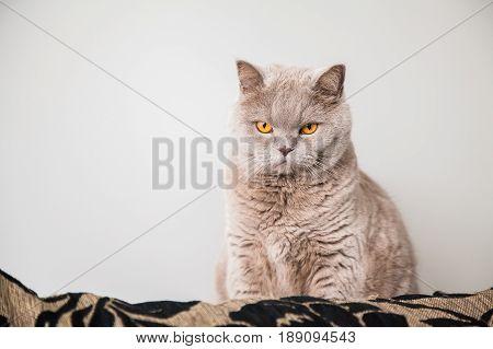 serious lilac british cat with big orange eyes