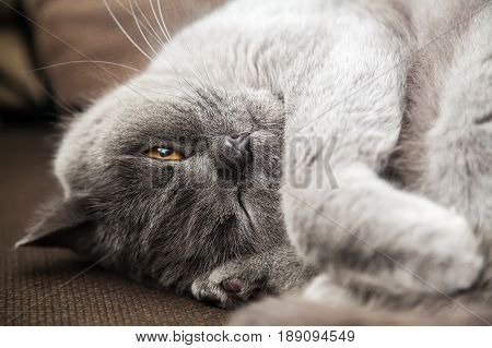 relaxing lying grey british cat with one eye closed