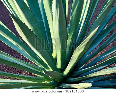 Agave succulent plant.Agave tequilana plant to distill mexican tequila liquor.Floral background.