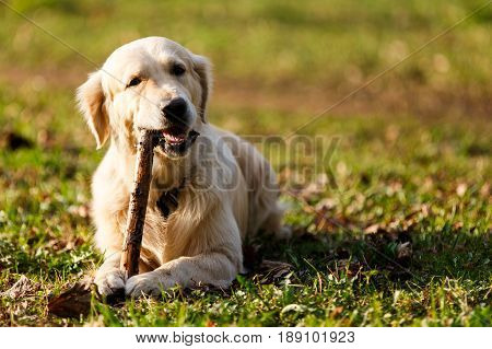 Labrador gnawing stick lying on lawn in park