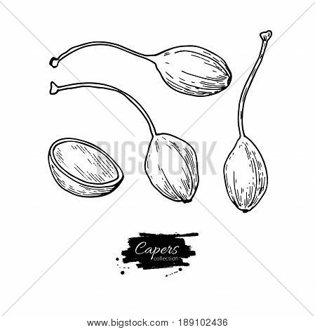 Capers hand drawn vector illustration. Isolated Vegetable engraved style object. Detailed vegetarian food drawing. Farm market product. Great for menu, label, icon