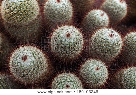 Mammillaria bombycina, more commonly know as the silken pincushion cactus is a species of flowering plant in the family Cactaceae found in western central Mexico.