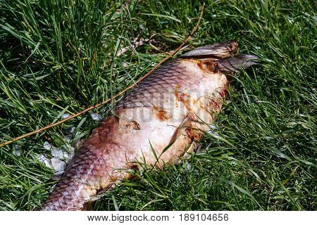 Dead rotting fish lies on the river bank