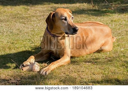 Brown dog lying on meadow protecting its bone, sunny afternoon during Autumn
