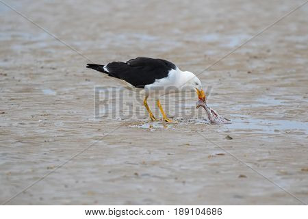 Pacific Gull bird pecking out fresh meat from Batoidea, Rays fish on sandy beach. Seashore coast in morning, Tasmania, Australia (Larus pacificus)