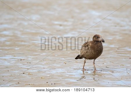 Juvenile Pacific Gull bird with mottled dark brown pattern on plumage walking on low-tide seashore looking for food in Tasmania Australia (Larus pacificus)