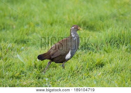 Tasmanian nativehen, flightless bird with yellow beaks, red eyes walking in green field, endemic to Tasmania, Australia (Tribonyx mortierii)