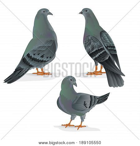 Carriers pigeons domestic breeds sports birds vintage hand draw set one vector animals illustration for design