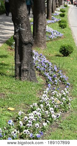 White and blue Pansy flowers in the lei that meanders below the alley, zigzagging around Magnolia trees