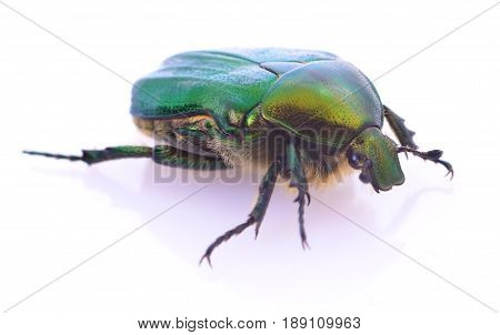Green beetle insect rose chafer (cetonia aurata) isolated on white background. poster