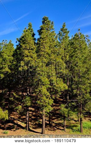 Forest with tall pines and blue sky background