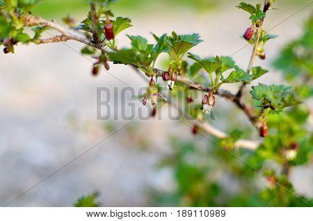 Currant Bush In Spring Garden