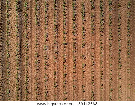 Aerial view of cultivated corn maize crop field from drone point of view